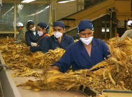 Descrição da imagem: foto de trabalhadores uniformizados com camisa e touca azul marinho, usando máscaras brancas. Eles manipulam folhas de tabaco sobre bancada.