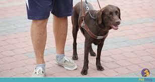 foto de um cão-guia guiando uma pessoa.